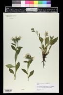 Pulmonaria officinalis image