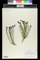Image of Aethionema armenum