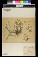 Image of Alyssum montanum