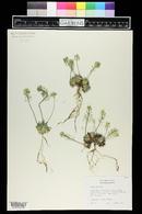 Draba asprella image