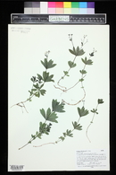 Galium odoratum image