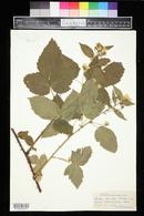 Rubus facetus image