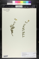 Zinnia grandiflora image