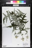 Image of Echinops bannaticus