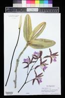 Image of Cattleya elongata