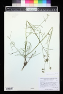Mirabilis linearis image