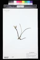Image of Cattleya lundii