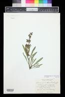 Penstemon breviculus image