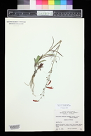 Penstemon barbatus image