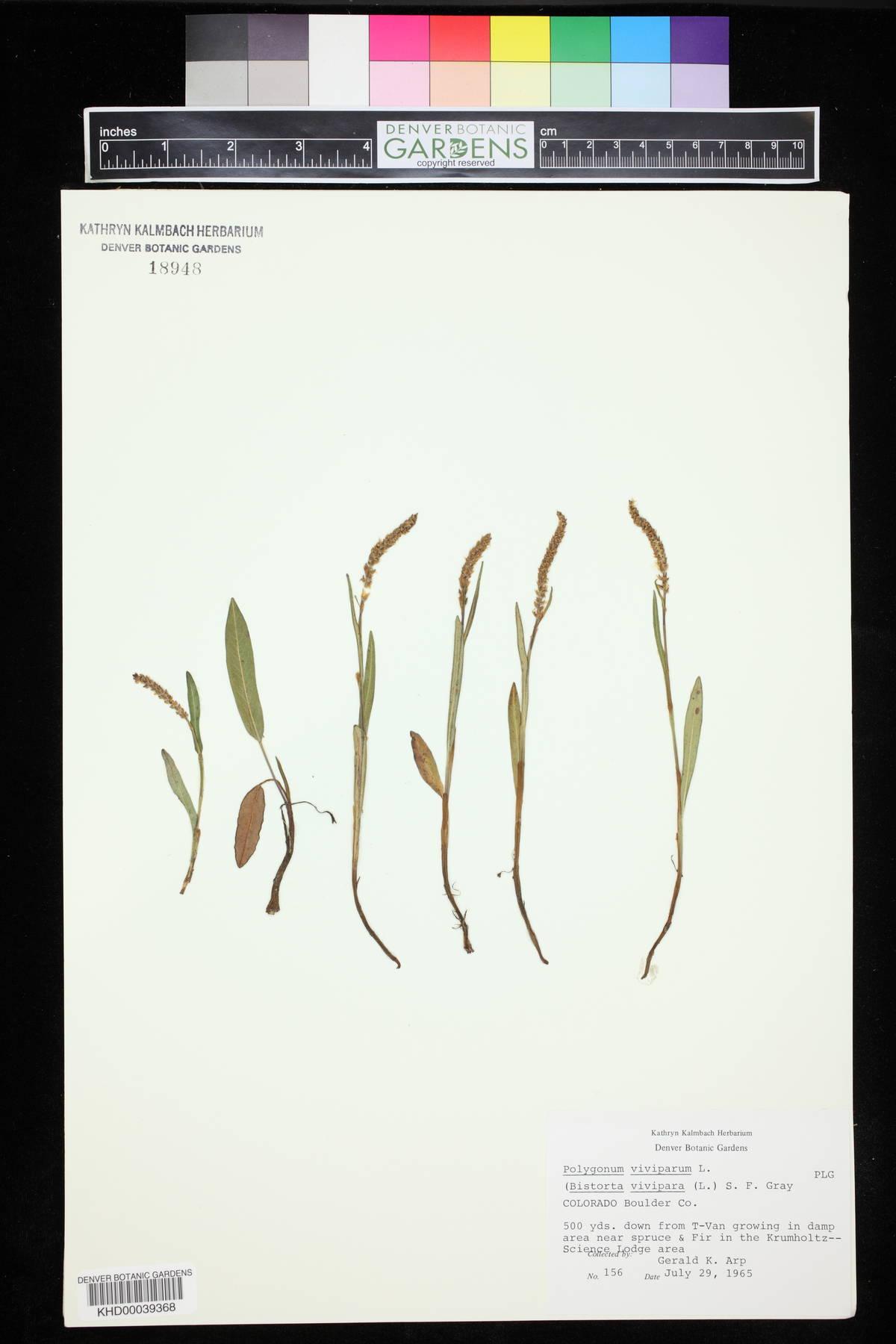 Bistorta affinis image