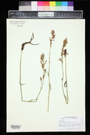 Image of Acetosella paucifolia