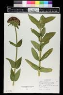 Lychnis chalcedonica image