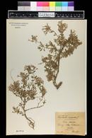 Saponaria ocymoides image