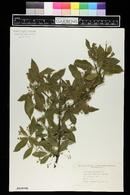 Euonymus europaeus image