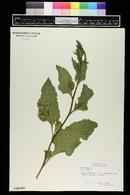 Beta vulgaris image