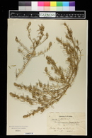 Corispermum hyssopifolium image