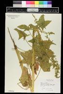 Spinacia oleracea image