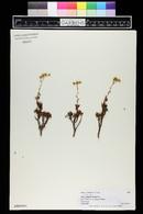 Image of Aeonium sedifolium