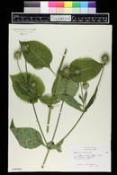 Dipsacus pilosus image