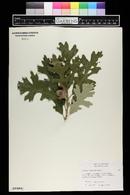 Quercus macrocarpa image