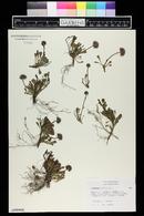 Globularia cordifolia image