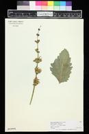 Image of Salvia microstegia