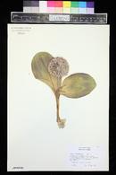 Image of Allium karataviense
