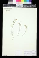 Lesquerella rectipes image