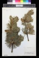 Pinus parviflora image