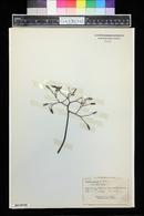 Pisonia grandis image