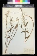 Epilobium obscurum image