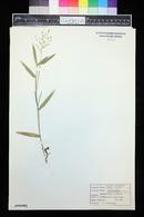 Panicum leibergii image