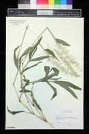 Image of Paspalum racemosum