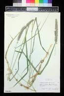 Pennisetum flaccidum image