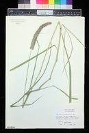 Pennisetum nervosum image