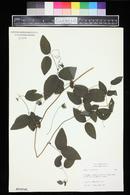 Clematis viorna image