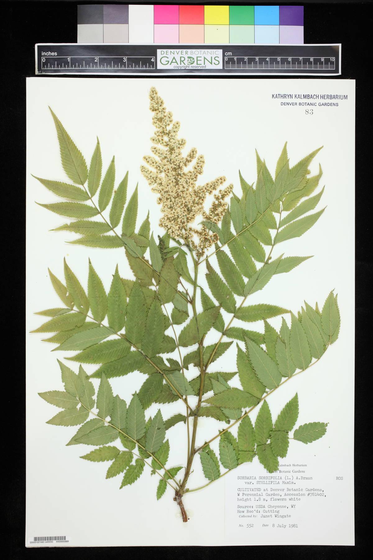Sorbaria sorbifolia var. stellipila image