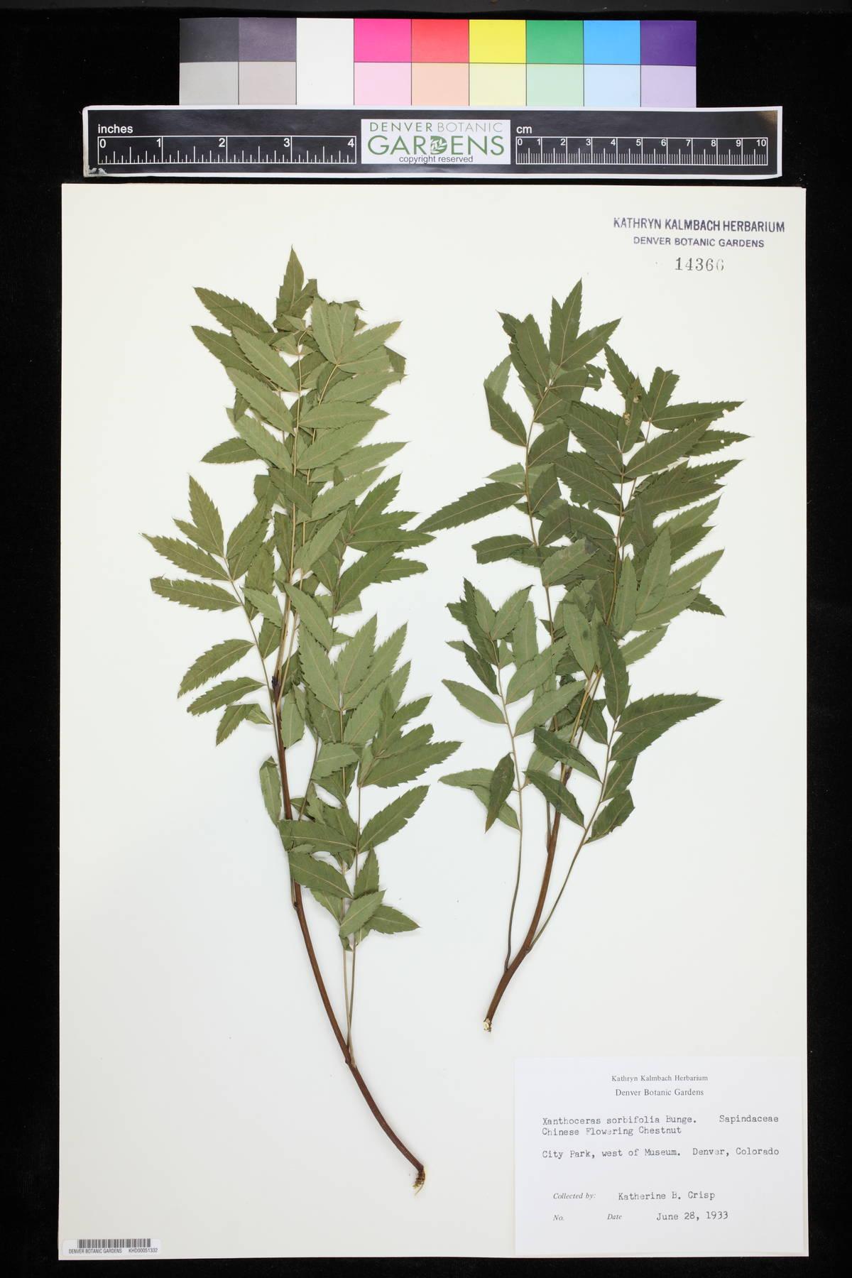Xanthoceraceae image