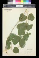 Image of Nemexia herbacea
