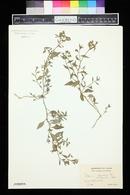 Image of Solanum pygmaeum