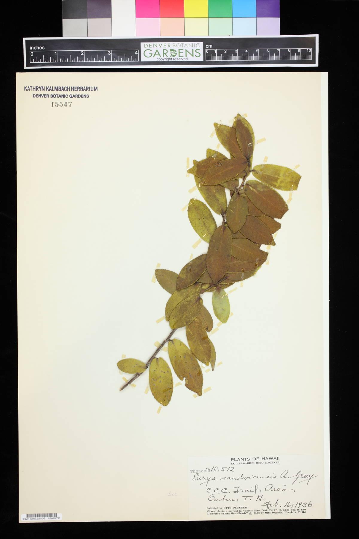 Eurya sandwicensis image
