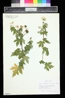 Image of Sparmannia ricinocarpa