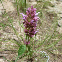 Image of Agastache breviflora