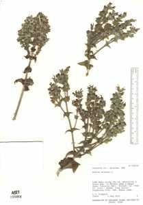 Image of Salvia sclarea