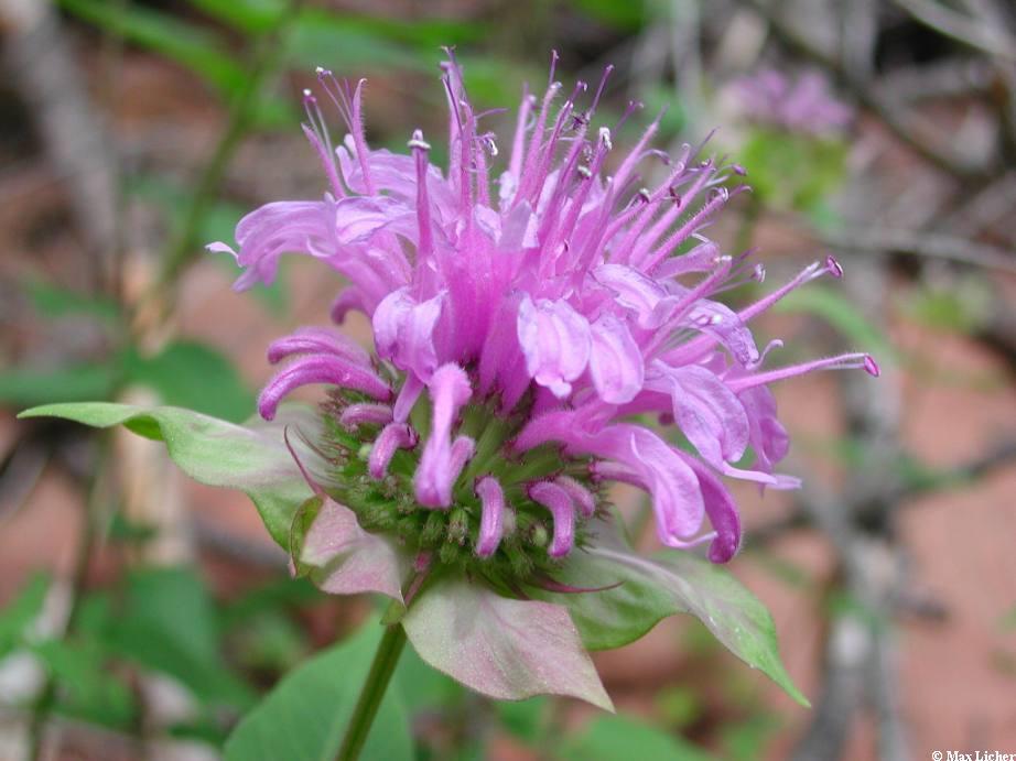 Lamiaceae image