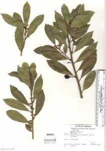 Image of Laurus nobilis