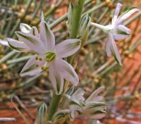 Image of Eremocrinum albomarginatum