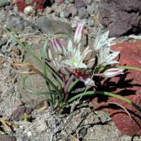 Image of Allium bigelovii