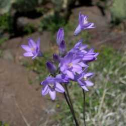 Image of Dichelostemma capitatum