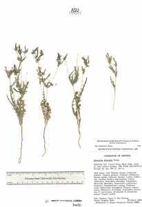 Image of Mentzelia desertorum